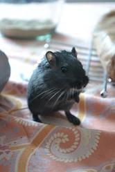 Shiro, rongeur Gerbille