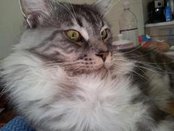 Shiryu, chat Maine Coon