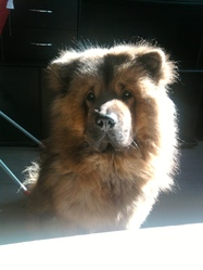 Shiva, chien Chow-Chow