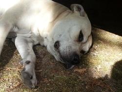 Schiva, chien American Staffordshire Terrier
