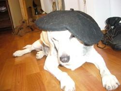 Shiva , chien Beagle