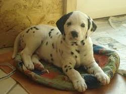 Shiva, chien Dalmatien