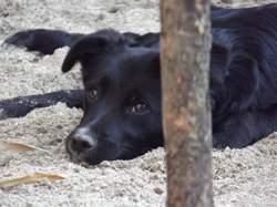 Shiva, chien Border Collie