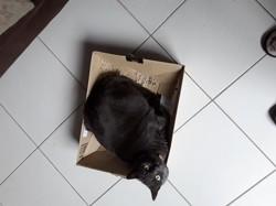 Shiva, chat Gouttière