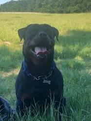 Shiva, chien Rottweiler