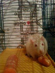 Shizuka, rongeur Rat