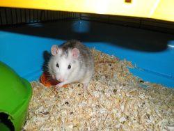Shizuru, rongeur Rat