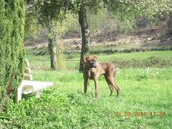 Shoei, chien Boxer