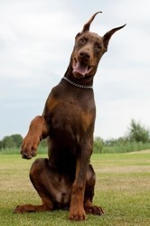 Shogs, chien Dobermann