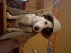 Shooshoo, chien Jack Russell Terrier