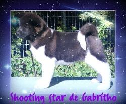 Shooting Star De Gabritho, chien Akita américain