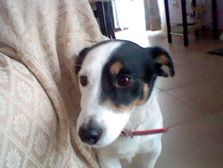 Shoushou, chien Jack Russell Terrier