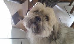 Shreck, chien Lhassa Apso