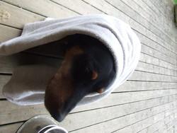 Shreck, chien Dobermann