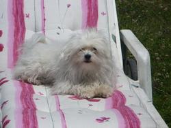 Shreck, chien Bichon maltais