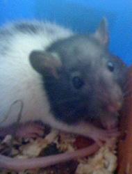 Shun, rongeur Rat
