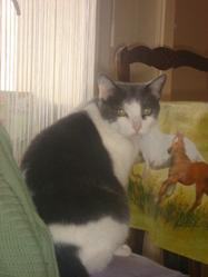 Shun , chat Gouttière