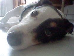 Shune B, chien