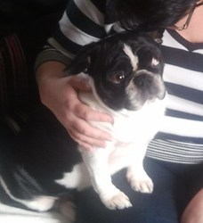 Shylo, chien Bouledogue français