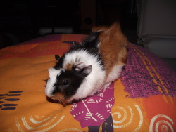 Shym, rongeur Cochon d'Inde