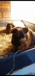 Shyn, rongeur Cochon d'Inde