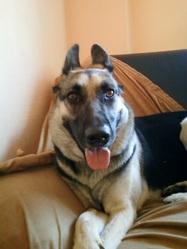 Shyna, chien Berger allemand