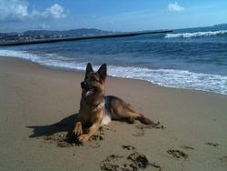 Shynna, chien Berger allemand