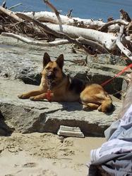 Shyrka, chien Berger allemand