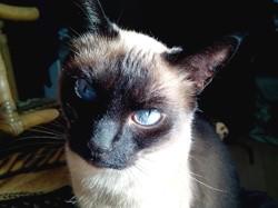 Siamette, chat Siamois