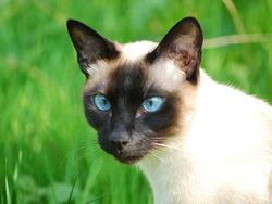 Siamois, chat Siamois