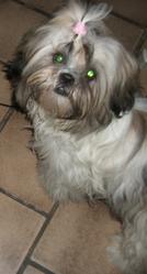 Siana, chien Shih Tzu