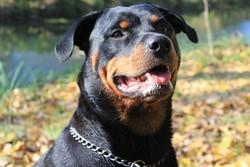 Siara, chien Rottweiler