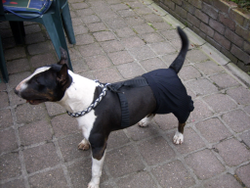 Siara, chien Bull Terrier