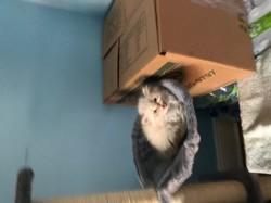 Sibelle, chaton Persan