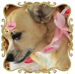 Sibelle, chien Chihuahua