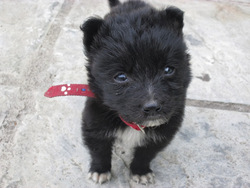 Siber, chien