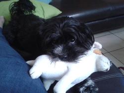 Siby, chien Cairn Terrier