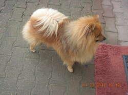 Sid, chien Spitz allemand