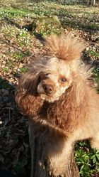Sidney, chien Caniche