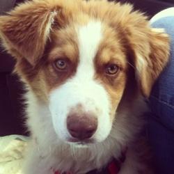 Sidney, chien Berger australien