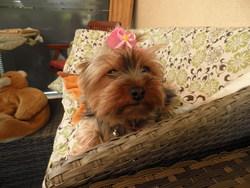 Sidonie, chien Yorkshire Terrier