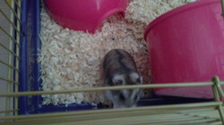 Sidus, rongeur Hamster