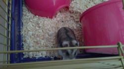 Sidus, rongeur Hamster