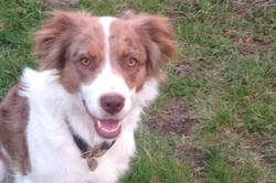 Sika, chien Berger australien