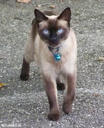 Silex, chat Siamois