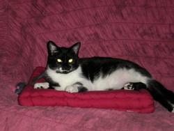 Silima, chat Européen