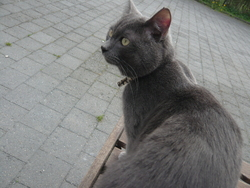 Silver, chat Chartreux