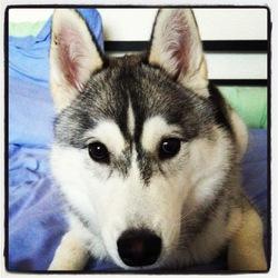 Silver, chien Husky sibérien