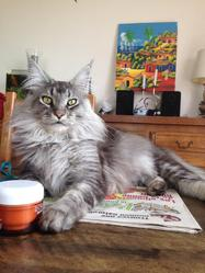Silver, chat Maine Coon