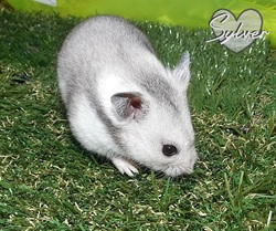 Silver, rongeur Hamster